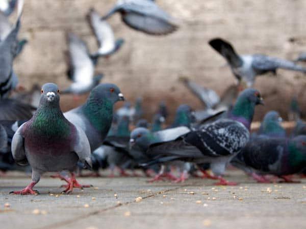 Dissuasori-per-piccioni-verona-brescia