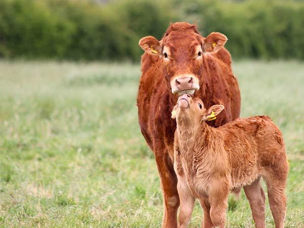 Alimenti-per-bovini-da-latte